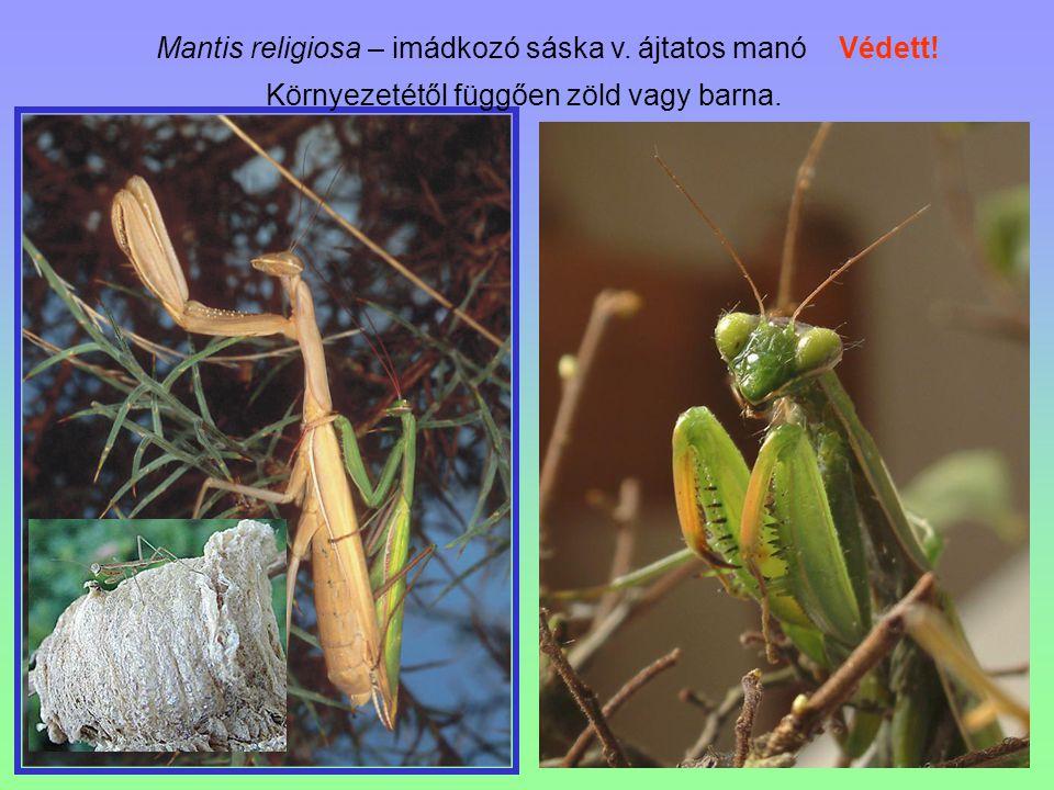 Mantis religiosa – imádkozó sáska v. ájtatos manó Védett! Környezetétől függően zöld vagy barna.