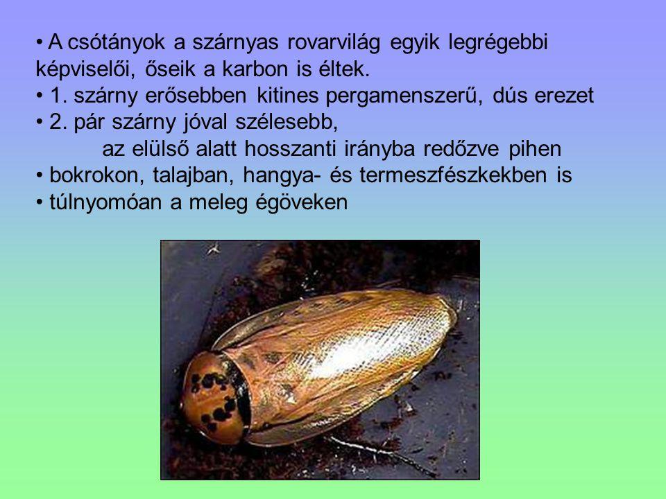 A csótányok a szárnyas rovarvilág egyik legrégebbi képviselői, őseik a karbon is éltek. 1. szárny erősebben kitines pergamenszerű, dús erezet 2. pár s