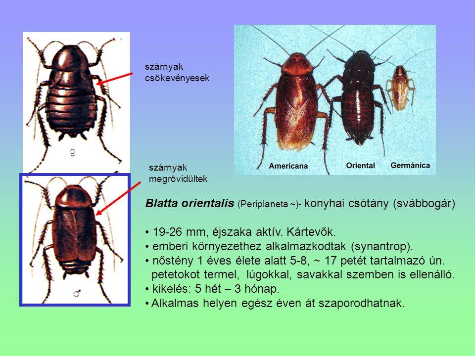 Blatta orientalis (Periplaneta ~)- konyhai csótány (svábbogár) 19-26 mm, éjszaka aktív. Kártevők. emberi környezethez alkalmazkodtak (synantrop). nőst