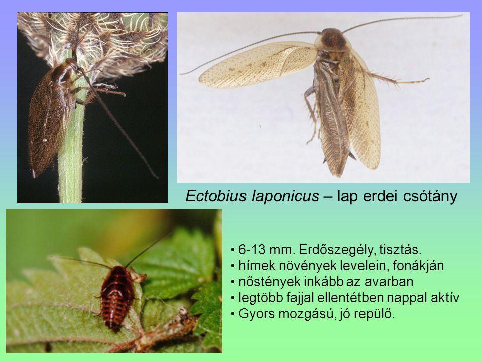 Ectobius laponicus – lap erdei csótány 6-13 mm. Erdőszegély, tisztás. hímek növények levelein, fonákján nőstények inkább az avarban legtöbb fajjal ell