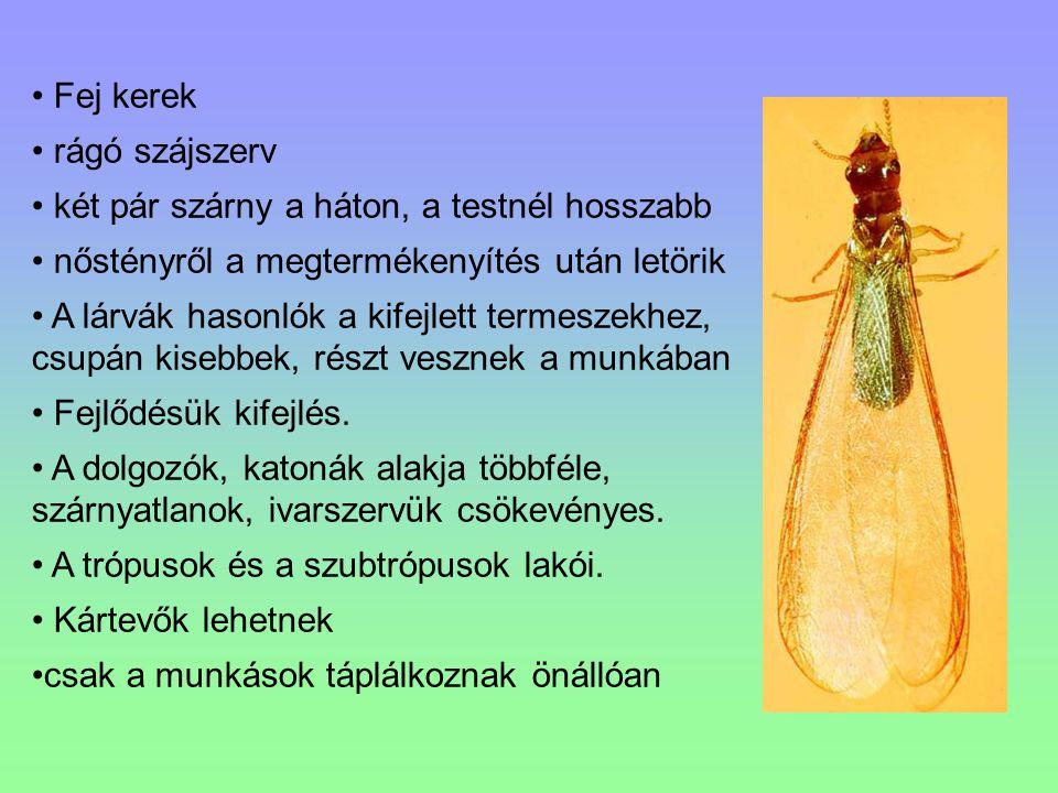 Fej kerek rágó szájszerv két pár szárny a háton, a testnél hosszabb nőstényről a megtermékenyítés után letörik A lárvák hasonlók a kifejlett termeszek