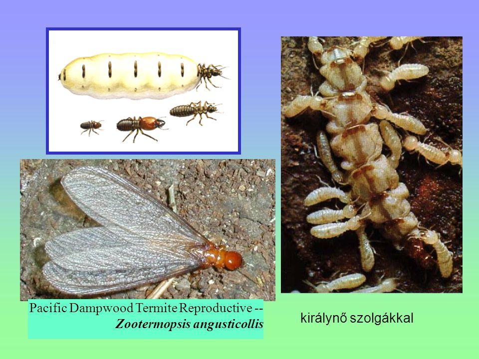 Pacific Dampwood Termite Reproductive -- Zootermopsis angusticollis királynő szolgákkal