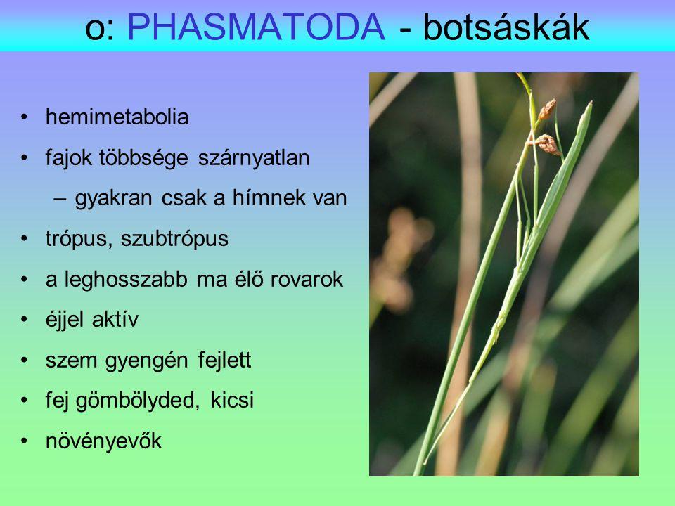 o: PHASMATODA - botsáskák hemimetabolia fajok többsége szárnyatlan –gyakran csak a hímnek van trópus, szubtrópus a leghosszabb ma élő rovarok éjjel ak