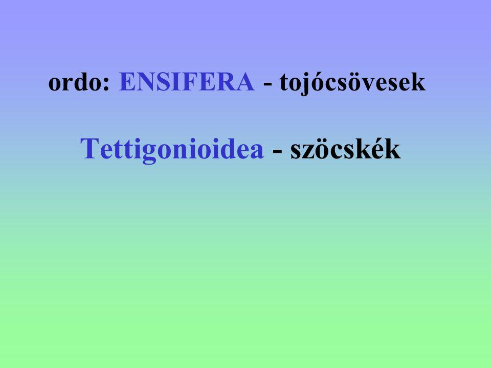 ordo: ENSIFERA - tojócsövesek Tettigonioidea - szöcskék