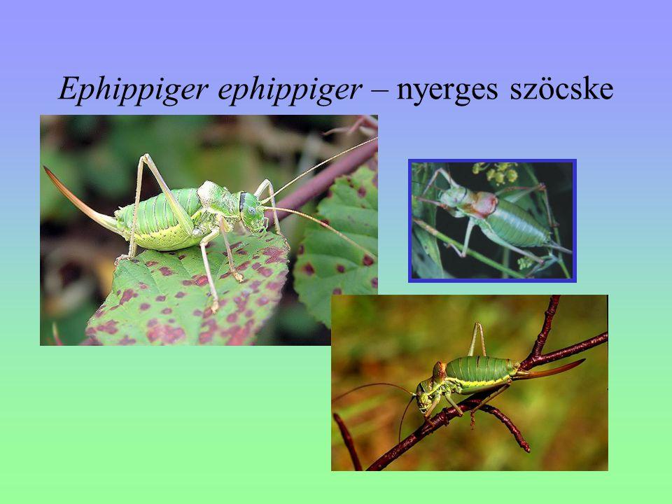 Ephippiger ephippiger – nyerges szöcske