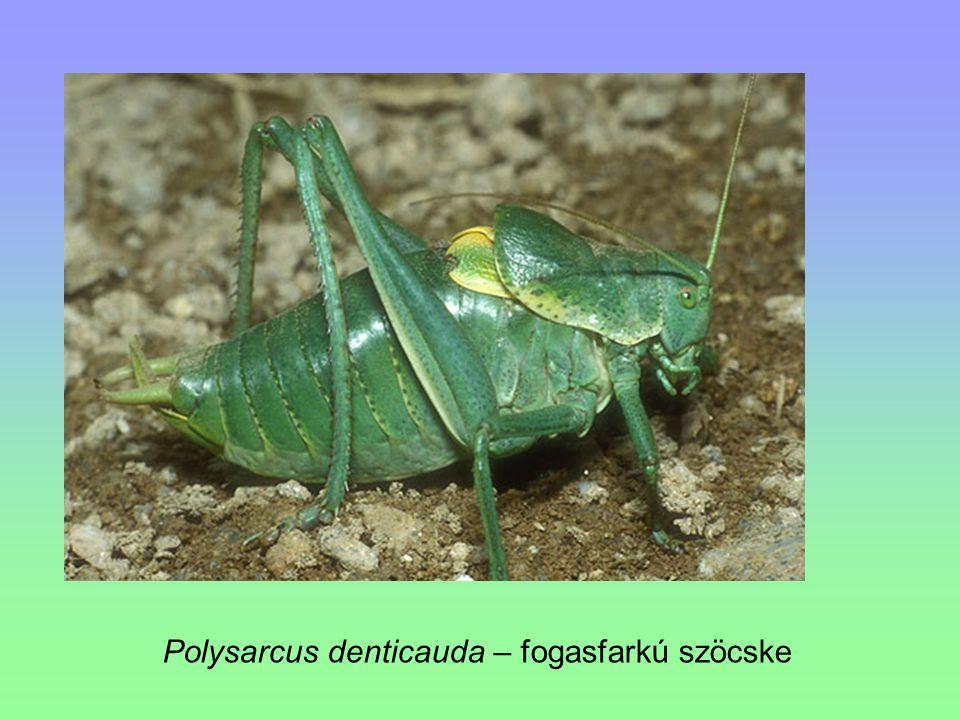 Polysarcus denticauda – fogasfarkú szöcske