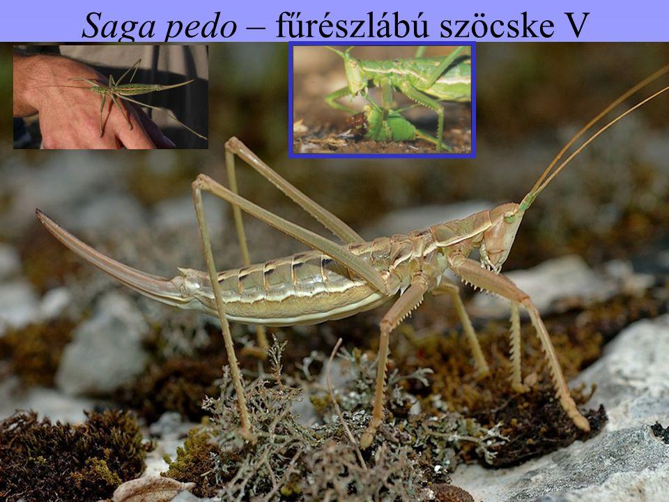 Saga pedo – fűrészlábú szöcske V