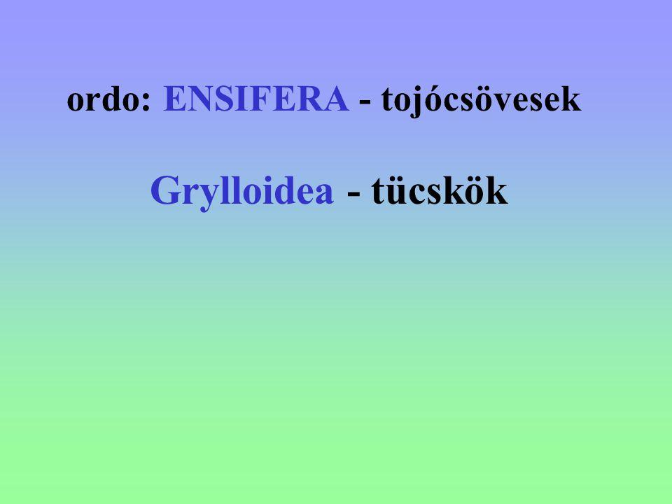 ordo: ENSIFERA - tojócsövesek Grylloidea - tücskök
