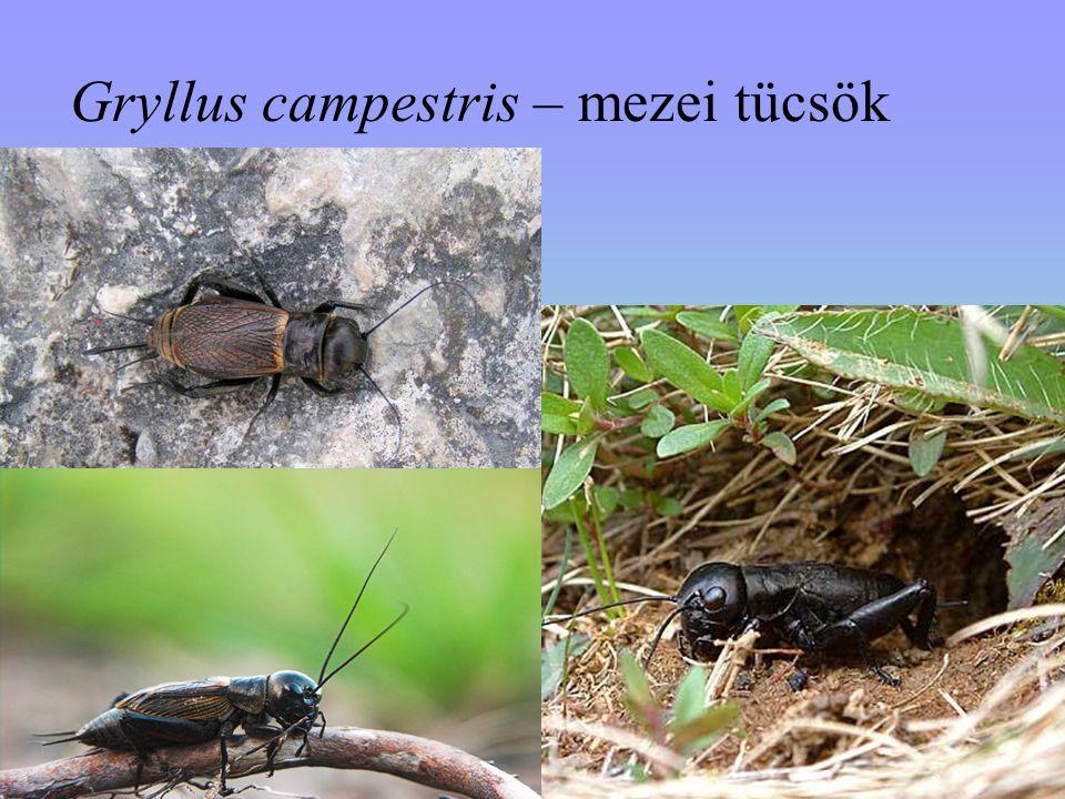 Gryllus campestris – mezei tücsök