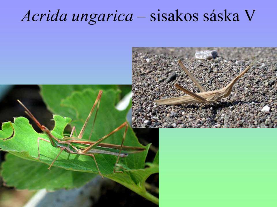 Acrida ungarica – sisakos sáska V
