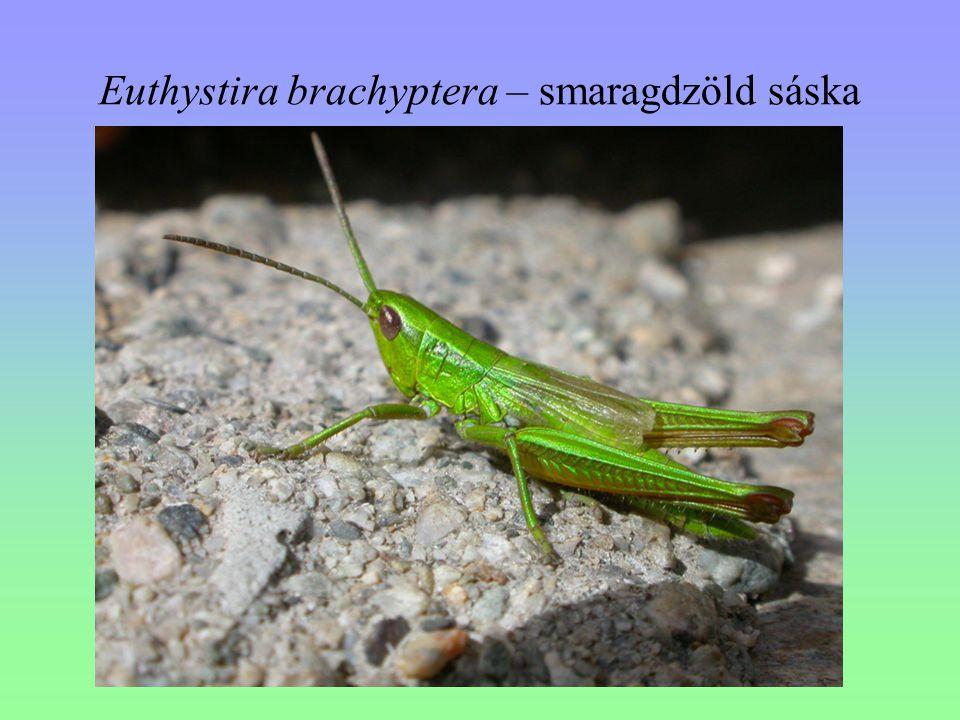Euthystira brachyptera – smaragdzöld sáska