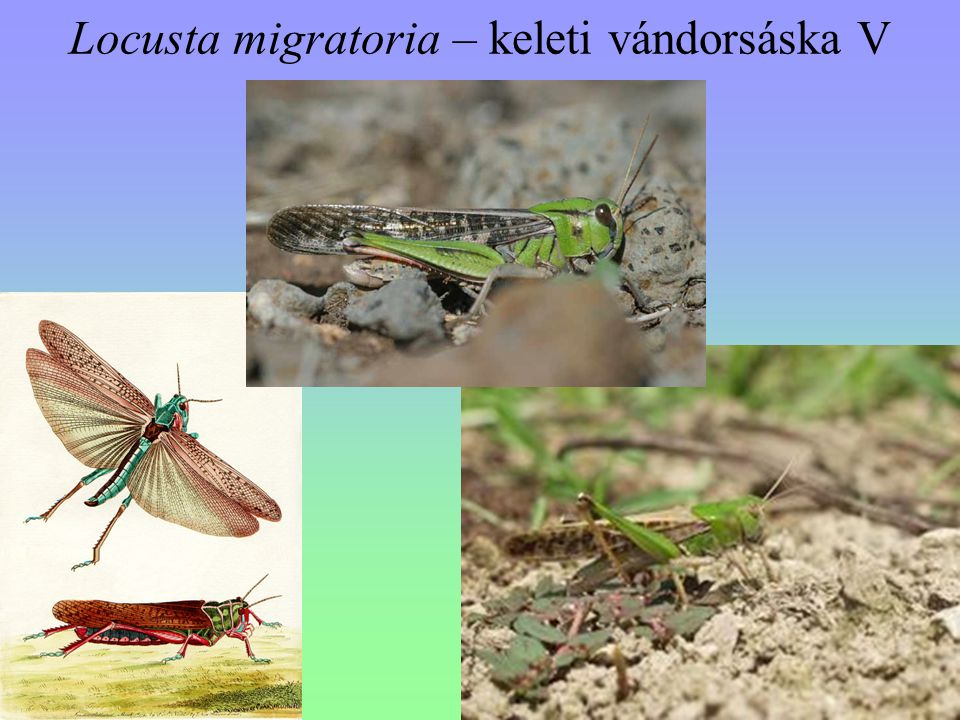 Locusta migratoria – keleti vándorsáska V