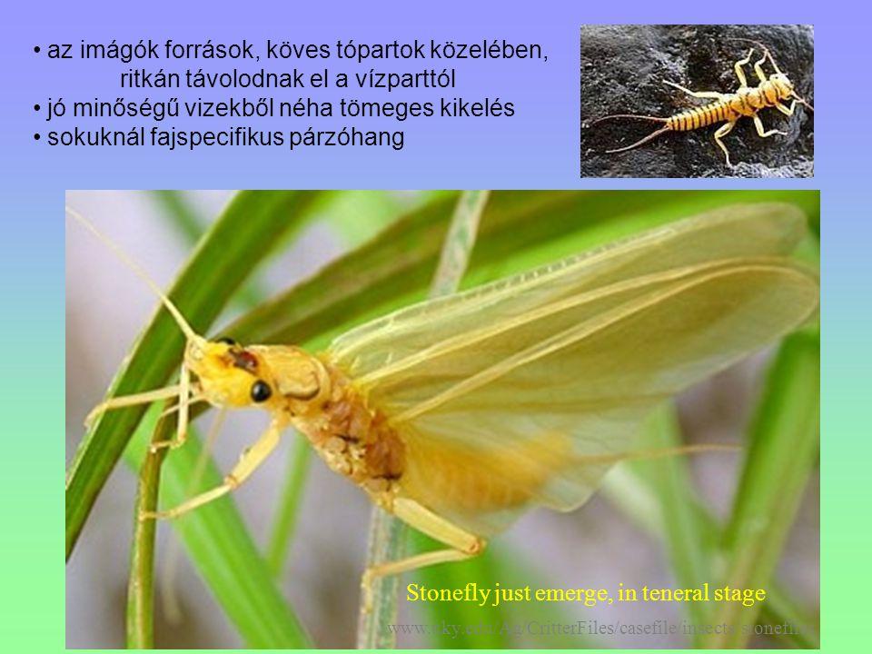 Stonefly just emerge, in teneral stage www.uky.edu/Ag/CritterFiles/casefile/insects/stoneflies az imágók források, köves tópartok közelében, ritkán tá