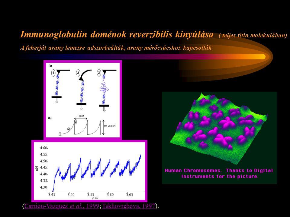 Immunoglobulin doménok reverzibilis kinyúlása ( teljes titin molekulában) A feherját arany lemezre adszorbeálták, arany mérőcsúcshoz kapcsolták (Carrion-Vazquez et al., 1999; Tskhovrebova, 1997).Carrion-Vazquez et al., 1999Tskhovrebova, 1997