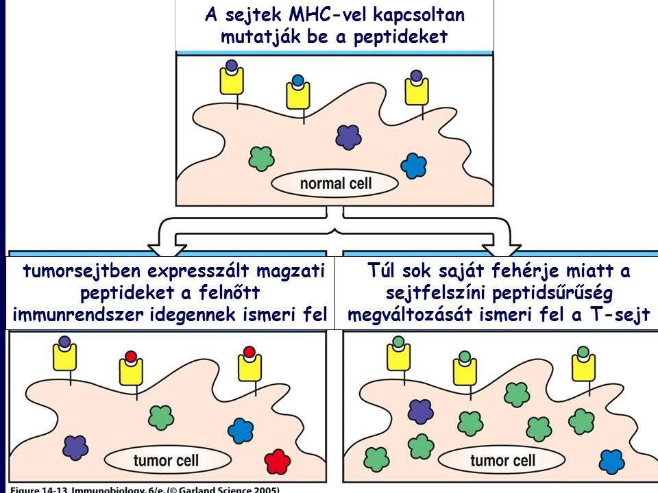 Figure 14-13 A sejtek MHC-vel kapcsoltan mutatják be a peptideket tumorsejtben expresszált magzati peptideket a felnőtt immunrendszer idegennek ismeri