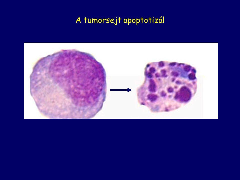 normal cellapoptotic cell Apoptosis A tumorsejt apoptotizál