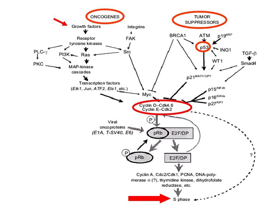 EGÉSZSÉG protoonkogének tumor szuppresszor gének