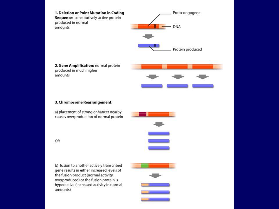 Figure 14-13 A sejtek MHC-vel kapcsoltan mutatják be a peptideket tumorsejtben expresszált magzati peptideket a felnőtt immunrendszer idegennek ismeri fel Túl sok saját fehérje miatt a sejtfelszíni peptidsűrűség megváltozását ismeri fel a T-sejt