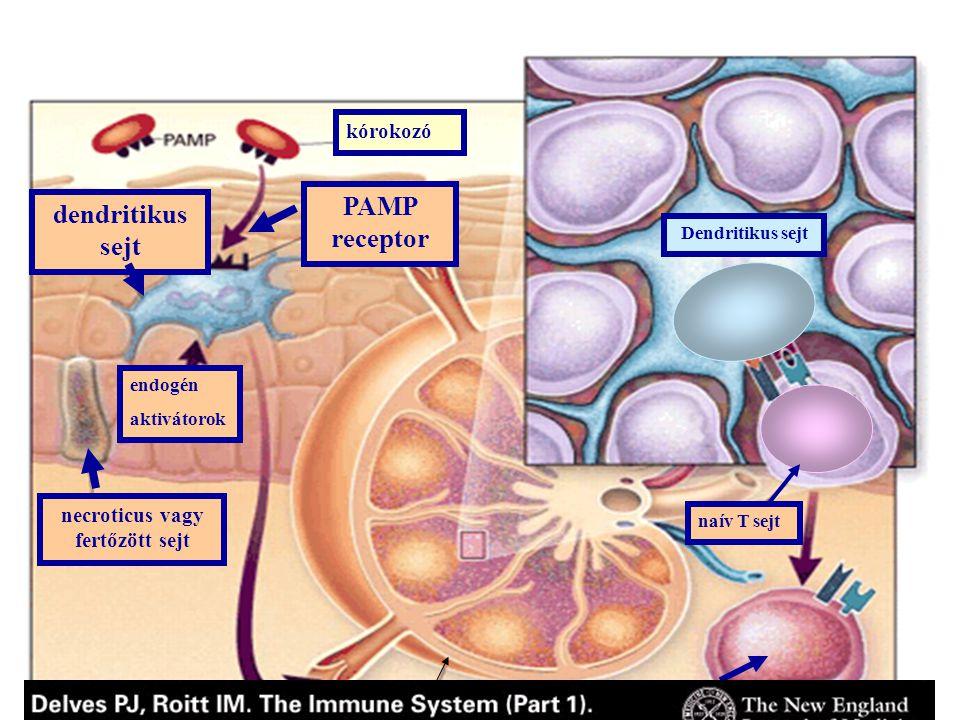PAMP receptor dendritikus sejt nyirokcsomó aktivált T sejt Dendritikus sejt necroticus vagy fertőzött sejt endogén aktivátorok kórokozó naív T sejt