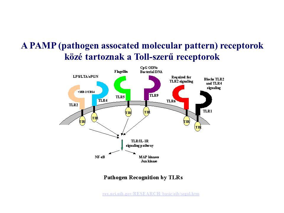 A PAMP (pathogen assocated molecular pattern) receptorok közé tartoznak a Toll-szerű receptorok rex.nci.nih.gov/RESEARCH/ basic/eib/segal.htm
