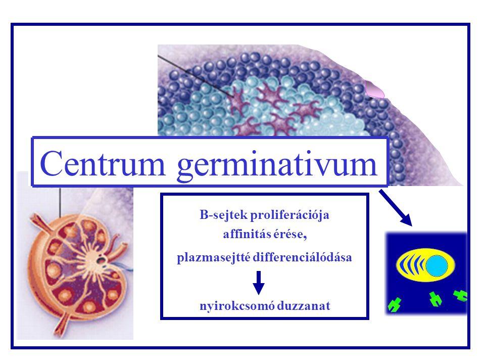 B sejtek proliferá- ciója Nyirokcso mó Centrum germinativum B-sejtek proliferációja affinitás érése, plazmasejtté differenciálódása nyirokcsomó duzzanat