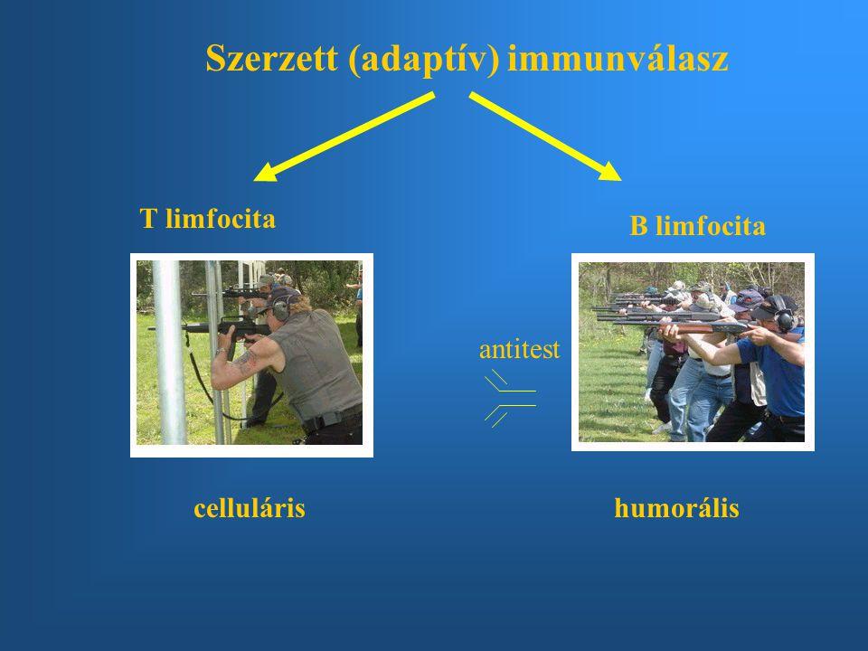 Szerzett (adaptív) immunválasz T limfocita B limfocita cellulárishumorális antitest