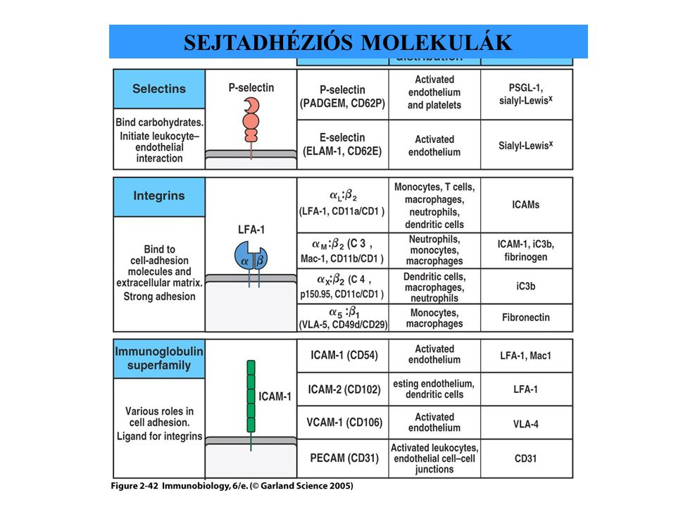 Figure 2-42 SEJTADHÉZIÓS MOLEKULÁK