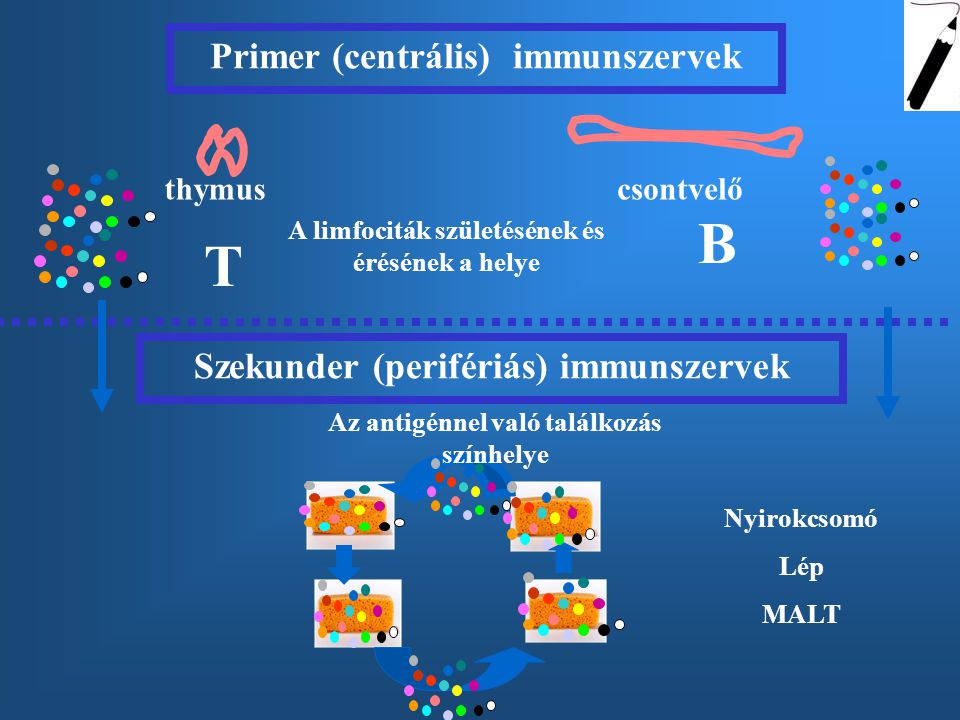 thymuscsontvelő Primer (centrális) immunszervek A limfociták születésének és érésének a helye T B Szekunder (perifériás) immunszervek Nyirokcsomó Lép MALT Az antigénnel való találkozás színhelye