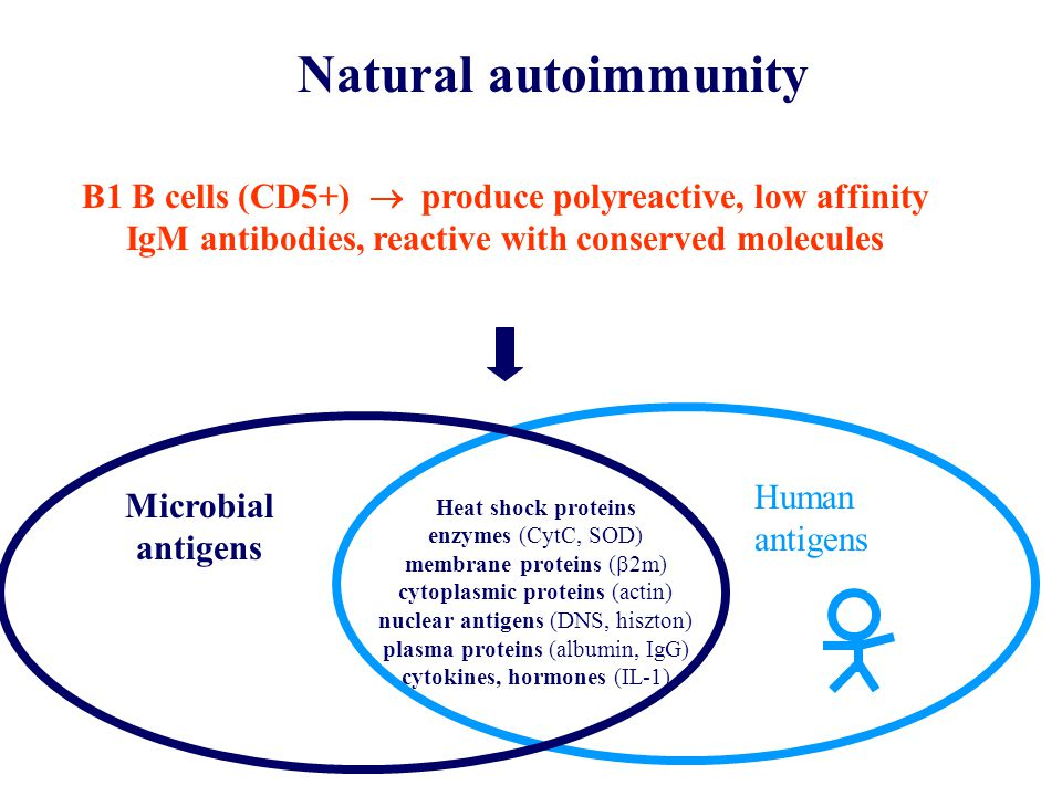 Natural autoimmunity B1 B cells (CD5+)  produce polyreactive, low affinity IgM antibodies, reactive with conserved molecules Heat shock proteins enzymes (CytC, SOD) membrane proteins (  2m) cytoplasmic proteins (actin) nuclear antigens (DNS, hiszton) plasma proteins (albumin, IgG) cytokines, hormones (IL-1) Microbial antigens Human antigens