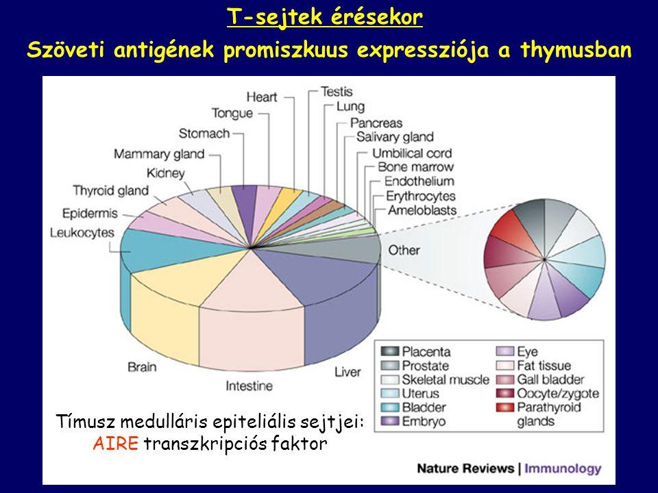 Szöveti antigének promiszkuus expressziója a thymusban Tímusz medulláris epiteliális sejtjei: AIRE transzkripciós faktor T-sejtek érésekor