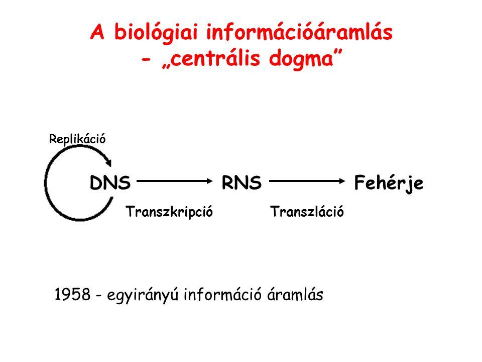 """Replikáció A biológiai információáramlás - """"centrális dogma"""" RNSDNSFehérje TranszkripcióTranszláció 1958 - egyirányú információ áramlás"""