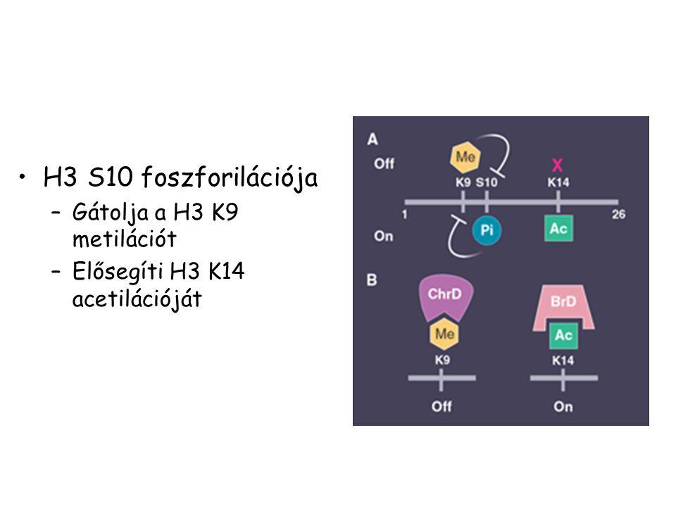 H3 S10 foszforilációja – –Gátolja a H3 K9 metilációt – –Elősegíti H3 K14 acetilációját