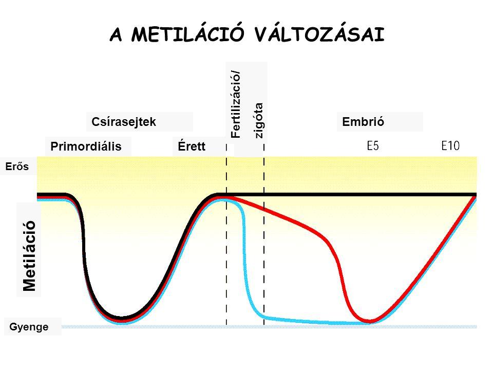 CsírasejtekEmbrió PrimordiálisÉrett Metiláció Erős Gyenge Fertilizáció/ zigóta A METILÁCIÓ VÁLTOZÁSAI