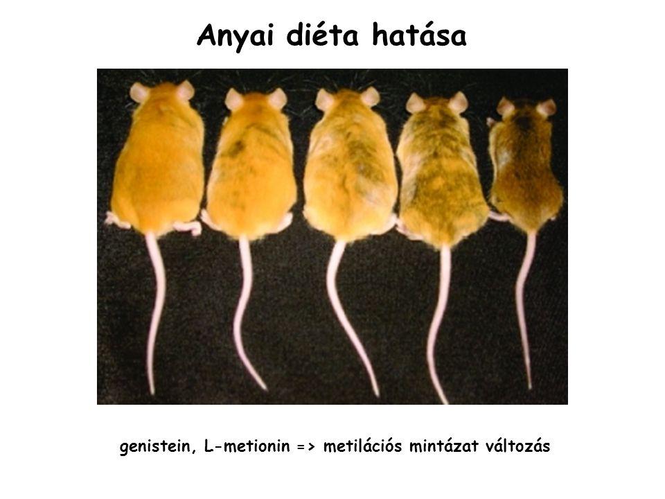 Anyai diéta hatása genistein, L-metionin => metilációs mintázat változás