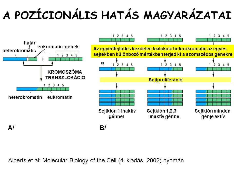 Az egyedfejlődés kezdetén kialakuló heterokromatin az egyes sejtekben különböző mértékben terjed ki a szomszédos génekre Sejtproliferáció Sejtklón 1 i