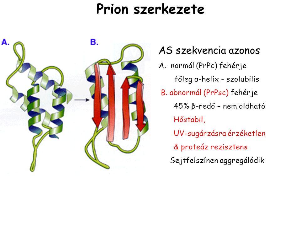 AS szekvencia azonos A. normál (PrPc) fehérje főleg α-helix - szolubilis B. abnormál (PrPsc) fehérje 45% β-redő – nem oldható Hőstabil, UV-sugárzásra