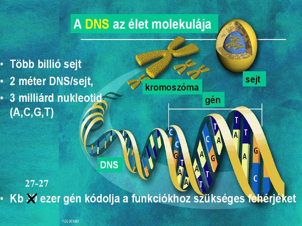 Példa a transzkripció kombinációs kontrolljára CAAT : olyan promoter elem, amelyhez dimer formában a C/EBP transzkripciót serkentő faktor kötődik NF-1 és a APF: olyan represszor fehérjék, amelyek bekötődve a transzkripciót csökkentik TATA: általános promoter, amelyhez a transzkripciós komplex kötődik be