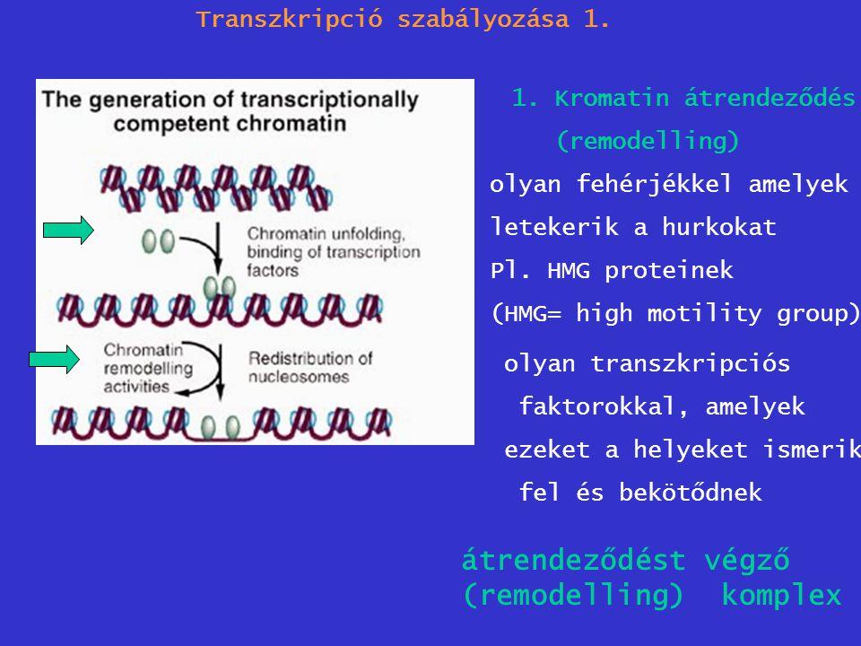 Transzkripció szabályozása 1. 1.Kromatin átrendeződés (remodelling) olyan fehérjékkel amelyek letekerik a hurkokat Pl. HMG proteinek (HMG= high motili