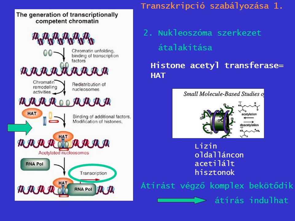 Transzkripció szabályozása 1. 2. Nukleoszóma szerkezet átalakítása Histone acetyl transferase= HAT Lizin oldalláncon acetilált hisztonok Átírást végző