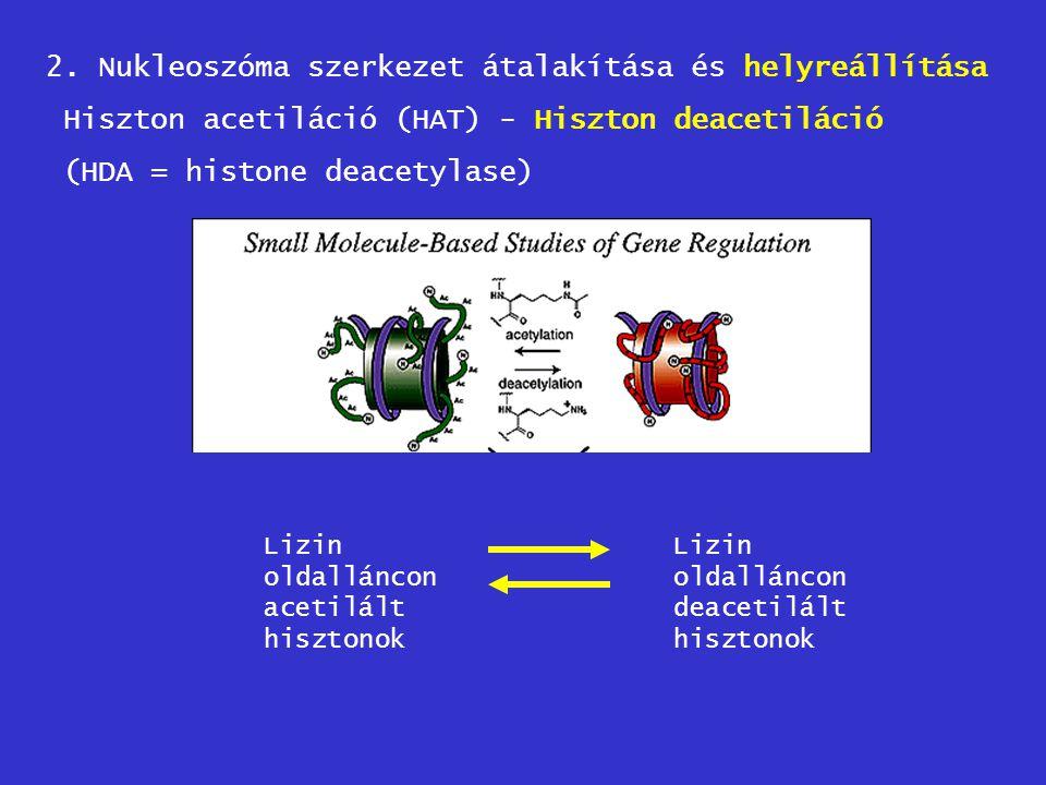 2. Nukleoszóma szerkezet átalakítása és helyreállítása Hiszton acetiláció (HAT) - Hiszton deacetiláció (HDA = histone deacetylase) Lizin oldalláncon a