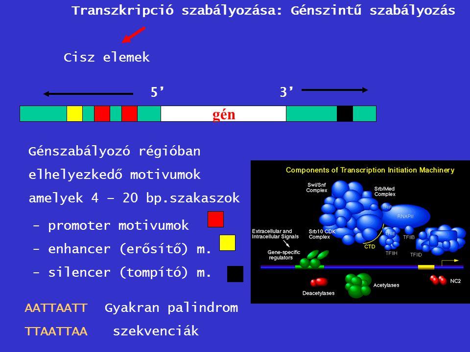 5'3' gén Génszabályozó régióban elhelyezkedő motivumok amelyek 4 – 20 bp.szakaszok - promoter motivumok - enhancer (erősítő) m. - silencer (tompító) m