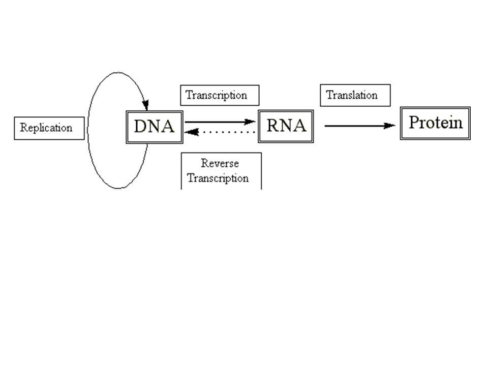 5'3' gén Génszabályozó régióban elhelyezkedő motivumok amelyek 4 – 20 bp.szakaszok - promoter motivumok - enhancer (erősítő) m.