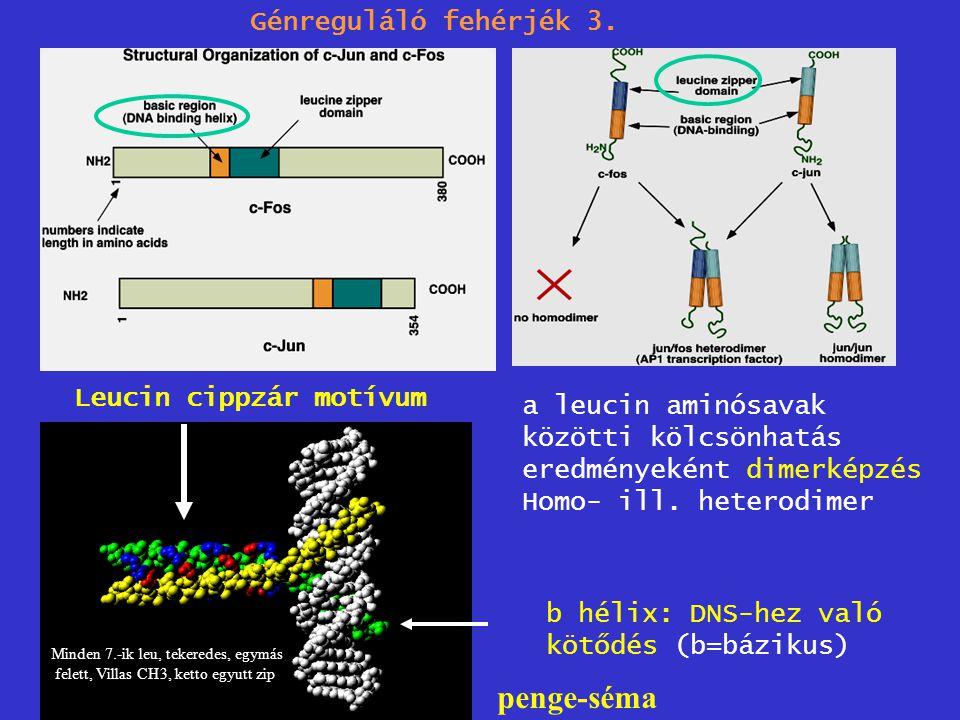 Leucin cippzár motívum Génreguláló fehérjék 3. a leucin aminósavak közötti kölcsönhatás eredményeként dimerképzés Homo- ill. heterodimer b hélix: DNS-