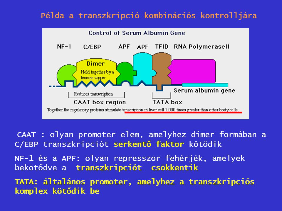 Példa a transzkripció kombinációs kontrolljára CAAT : olyan promoter elem, amelyhez dimer formában a C/EBP transzkripciót serkentő faktor kötődik NF-1