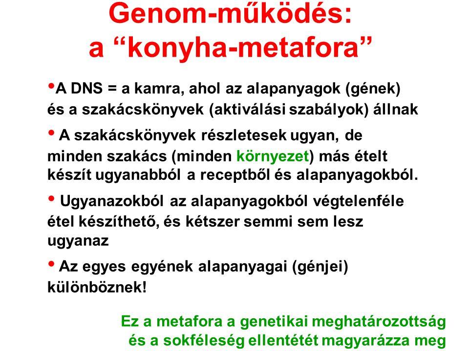 """Genom-működés: a """"konyha-metafora"""" A DNS = a kamra, ahol az alapanyagok (gének) és a szakácskönyvek (aktiválási szabályok) állnak A szakácskönyvek rés"""