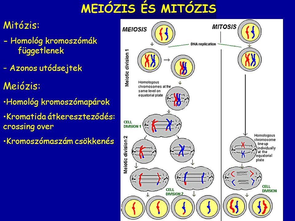 Mitózis: - Homológ kromoszómák függetlenek - Azonos utódsejtek MEIÓZIS ÉS MITÓZIS Meiózis: Homológ kromoszómapárok Kromatida átkereszteződés: crossing
