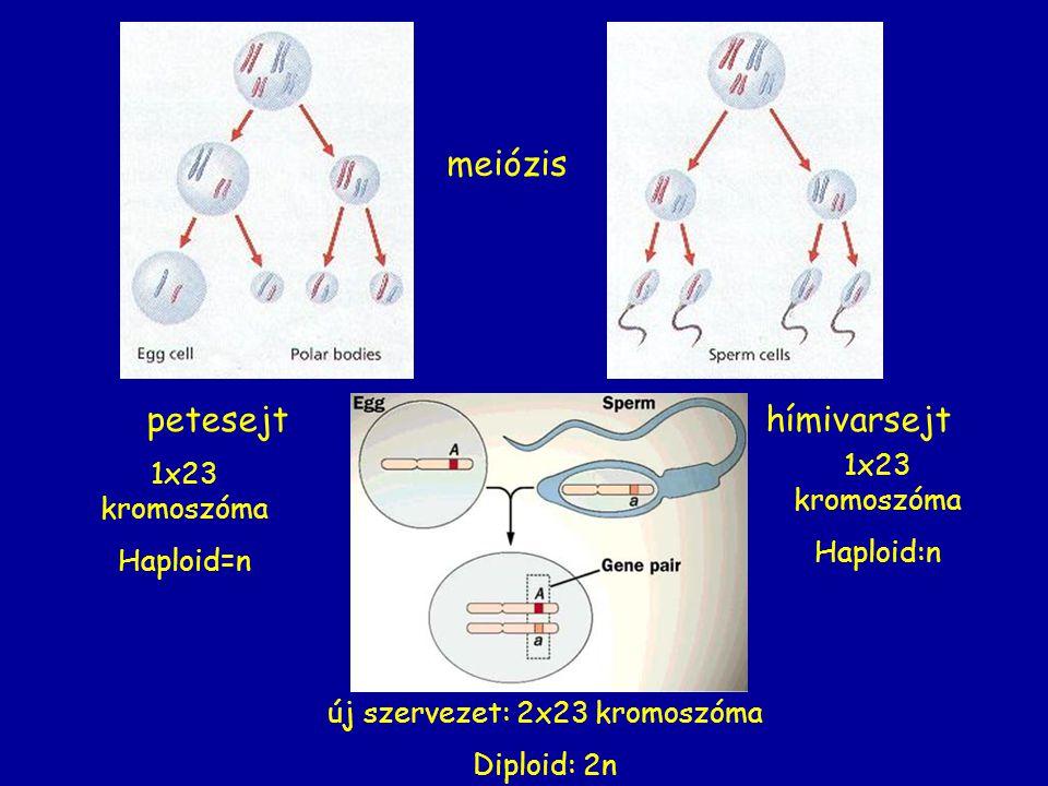 petesejthímivarsejt új szervezet: 2x23 kromoszóma Diploid: 2n meiózis 1x23 kromoszóma Haploid=n 1x23 kromoszóma Haploid:n