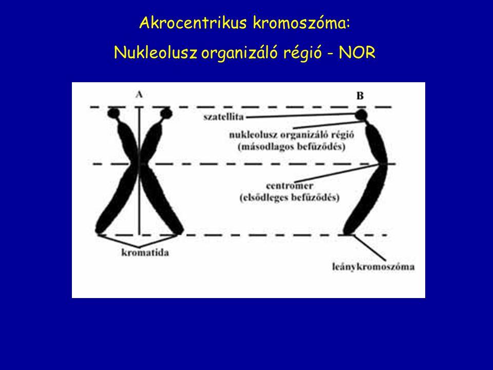 ANEUPLOIDIA Triszómia = 1 kromoszóma többlet : (47 db) Diploid 2n+1