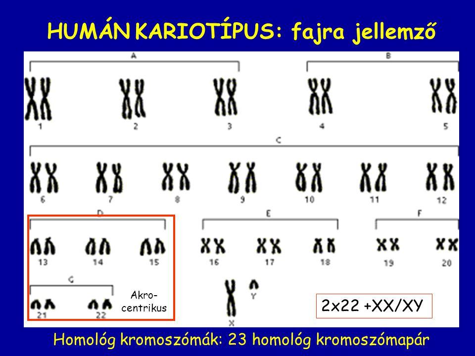 HUMÁN KARIOTÍPUS: fajra jellemző 2x22 +XX/XY Akro- centrikus Homológ kromoszómák: 23 homológ kromoszómapár