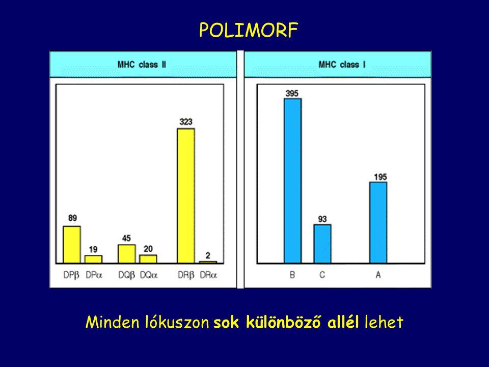 Minden lókuszon sok különböző allél lehet POLIMORF